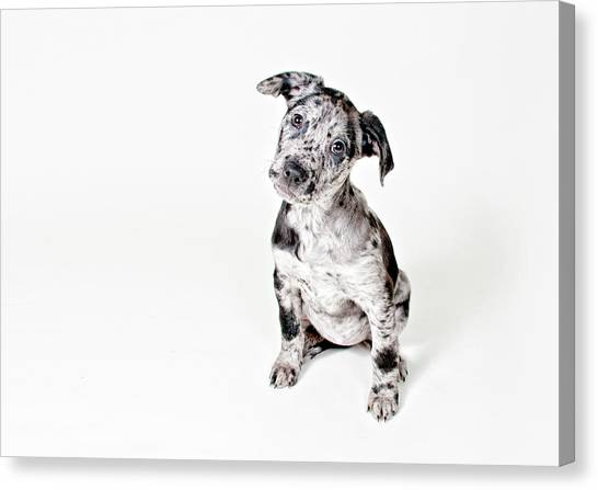 Dogs Canvas Print - Curious Puppy by Chad Latta