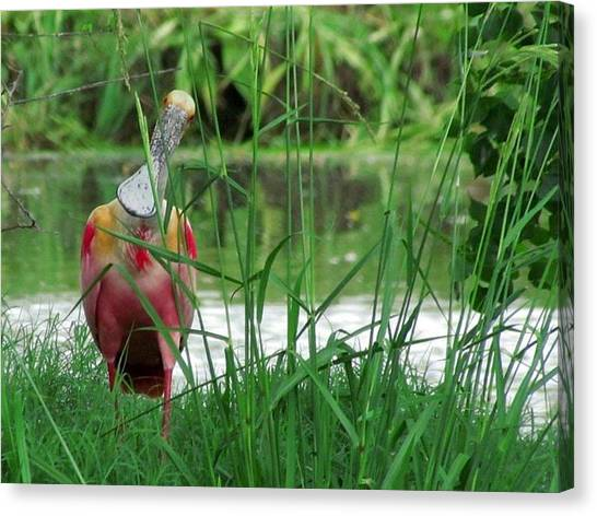Curious Roseate Spoonbill Canvas Print by Betty Berard