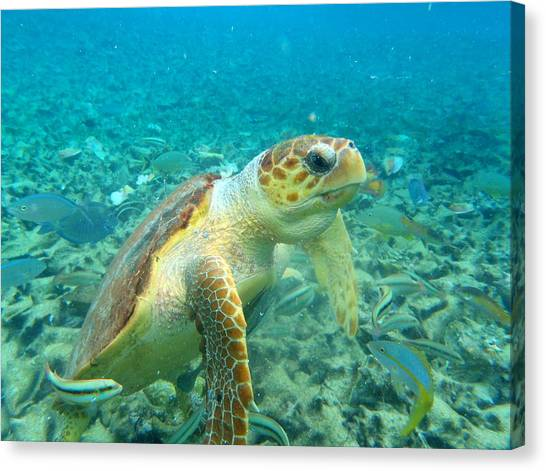Snorkling Canvas Print - Curious Tortuga by Steve Madore