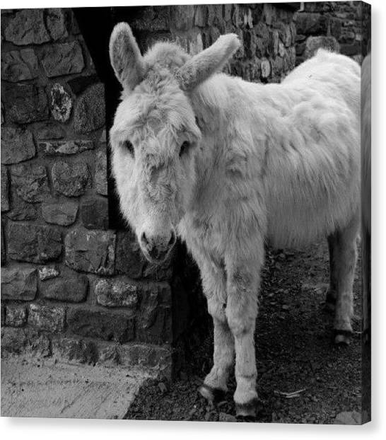 Donkeys Canvas Print - #cute #animals #beauty #beautiful by KLH Streets Photography
