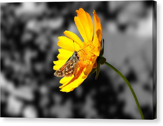 Cute Butterfly On Yellow Gerbera Daisy Canvas Print