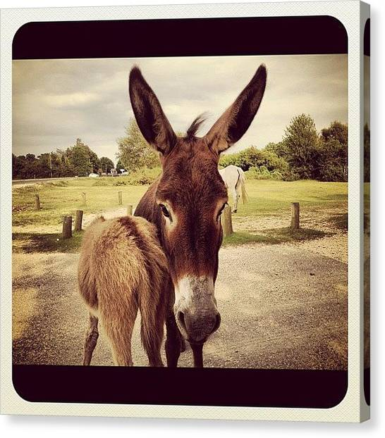 Donkeys Canvas Print - #cute #donkey #donkeys #cutedonkey by Niki Taylor