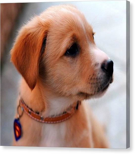 Golden Retrievers Canvas Print - #cute #little #puppy #aw #awesome #cute by Alexis V