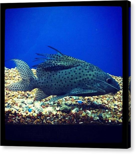 Fish Tanks Canvas Print - Cutest Catfish Ever by Kristina Parker