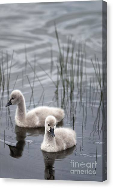 Cygnets Canvas Print by David Lade