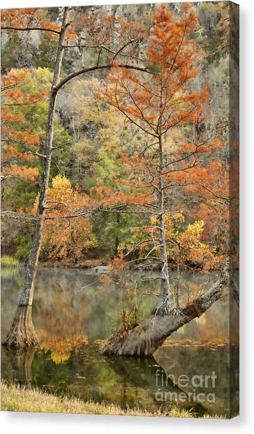 Cypress Trees In The Morning Light Canvas Print