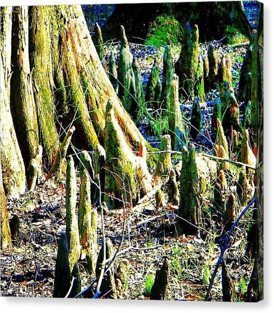 Swamps Canvas Print - #cypresstree #knees #knots by Brian Evans