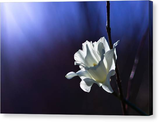 Daffodils Canvas Print - Daffodil Light by Lori Coleman