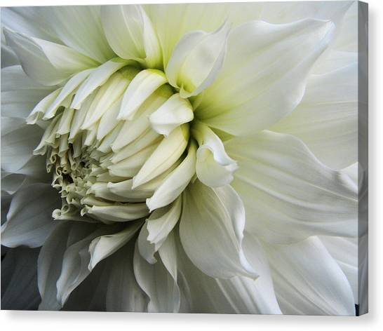 Dahlia Beauty Canvas Print