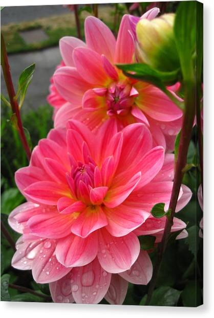 Dahlia Dew Canvas Print