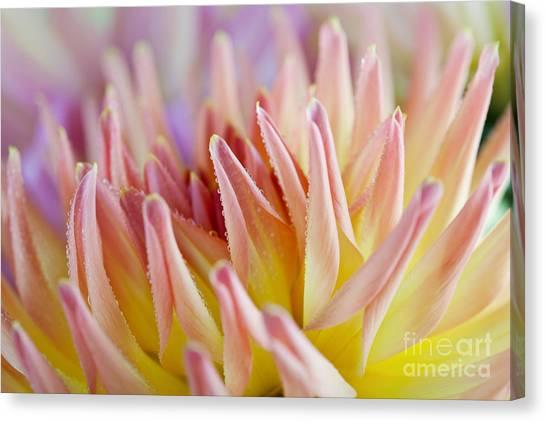 Dahlias Canvas Print - Dahlia Flower 05 by Nailia Schwarz