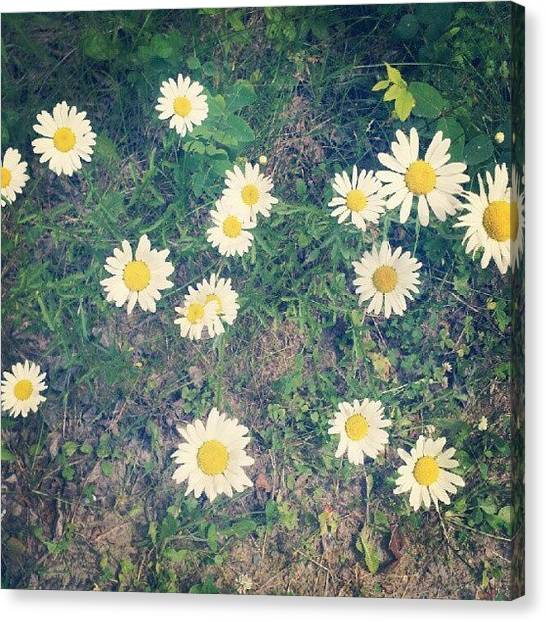 Minnesota Canvas Print - Daisy by Amber Abreu