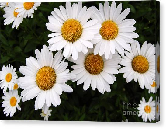 Daisy Blossoms Canvas Print