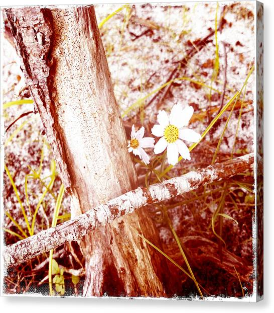 Daisy In The Rough Canvas Print by Frank Winters
