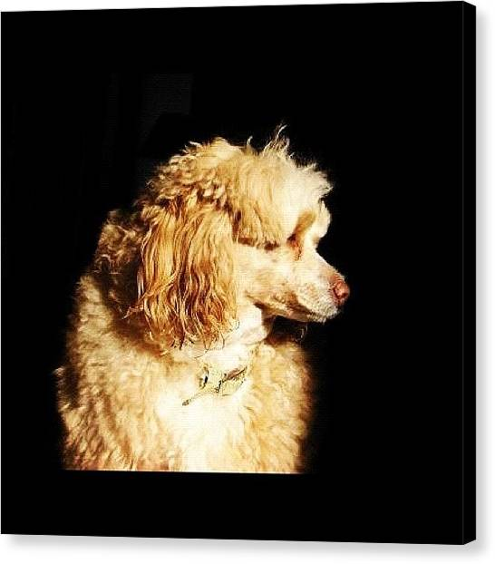 Poodles Canvas Print - Daisy by Kim Cafri