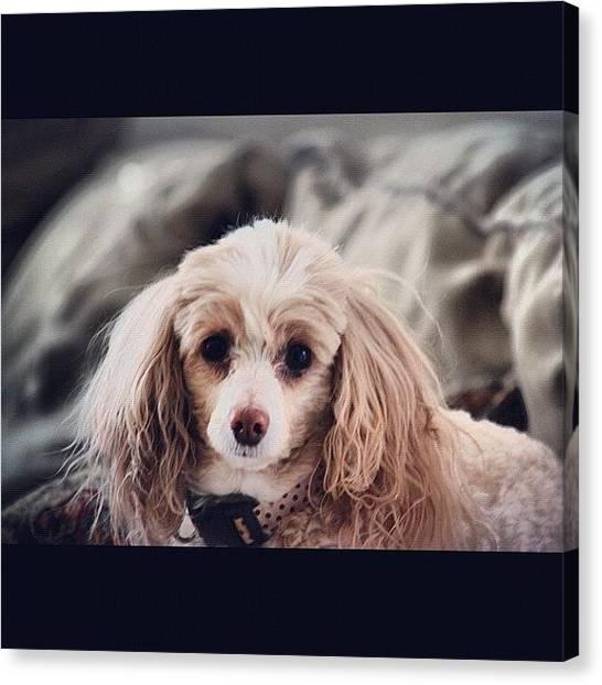 Poodles Canvas Print - Daisy Lou by Kim Cafri