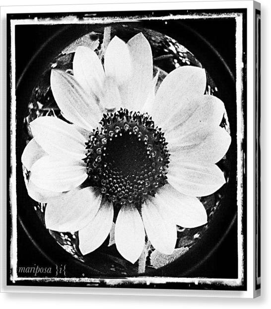 Edit Canvas Print - Daisy by Mari Posa