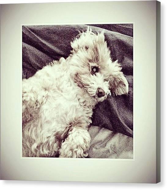 Poodles Canvas Print - Daisy Pie! by Kim Cafri