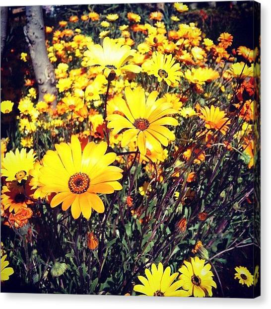 South Africa Canvas Print - Daisy, They Are So Beautiful ! by Zachary Voo