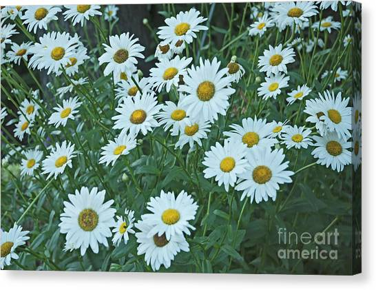 Daisy's Don't Tell Canvas Print