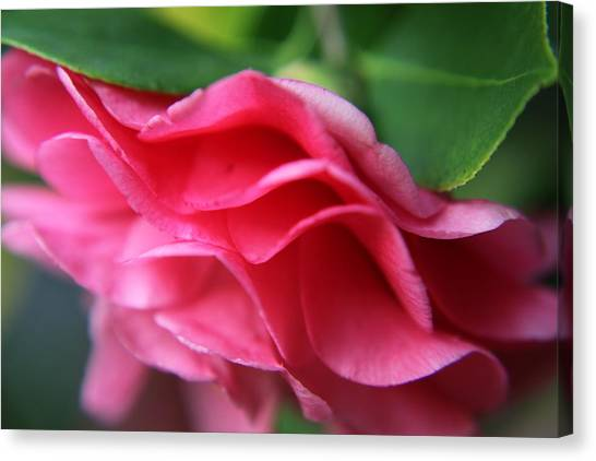 Dancing Petals Of The Camellia Canvas Print