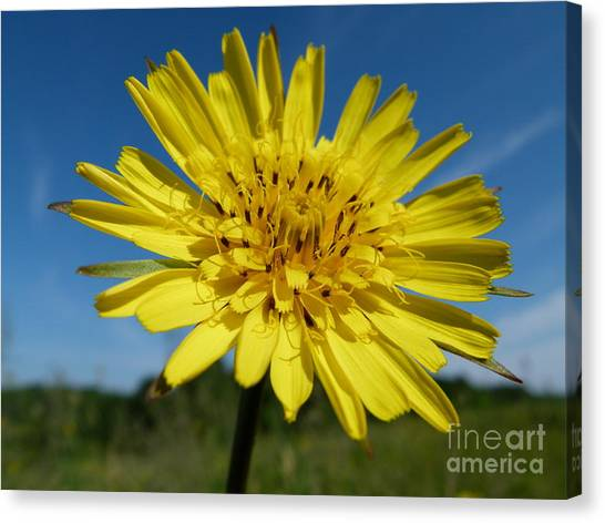 Dandelion Canvas Print by Christine Stack