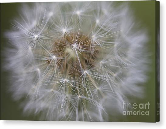 Dandelion Clock. Canvas Print