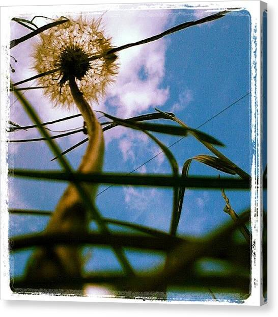 Irises Canvas Print - Dandelion Clock. by Mandi Ward