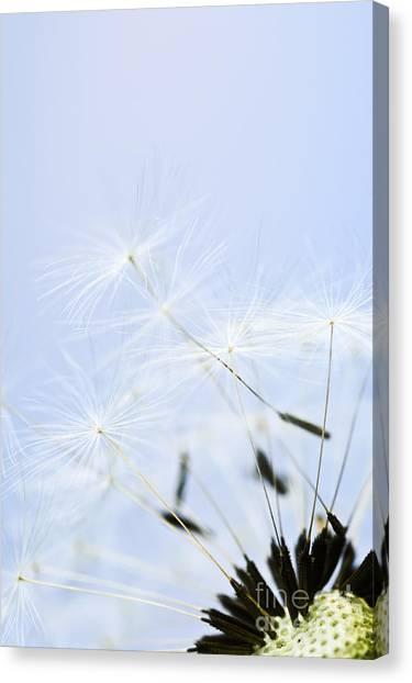 Weed Canvas Print - Dandelion by Elena Elisseeva