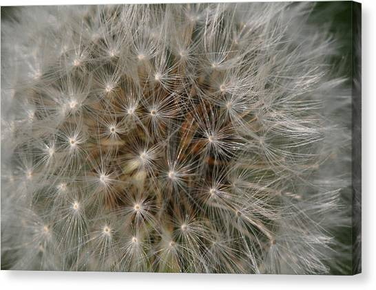 Dandelion Fairy Seeds Canvas Print