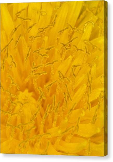Dandelion Up Close Canvas Print