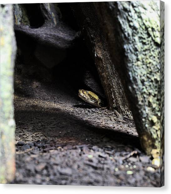 Timber Rattlesnakes Canvas Print - Dark And Dangerous Places by JC Findley