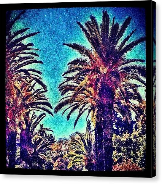 Israeli Canvas Print - Date Palms by Kim Cafri