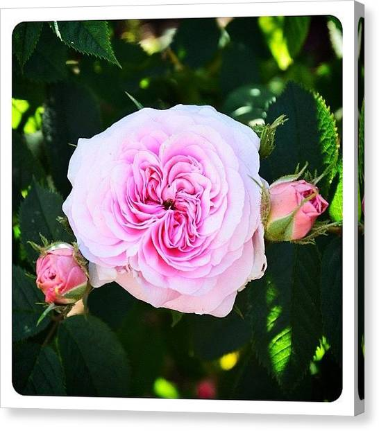 Roses Canvas Print - David Thompson Rose by Natasha Marco