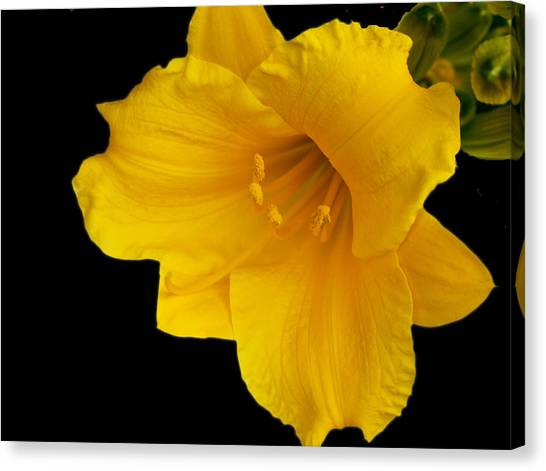 Day Lilly 3 Canvas Print by Barry Jones