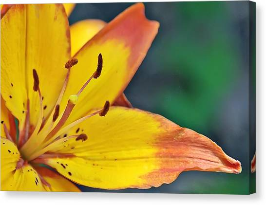 Daylily In Yellow Canvas Print by Tina Karle