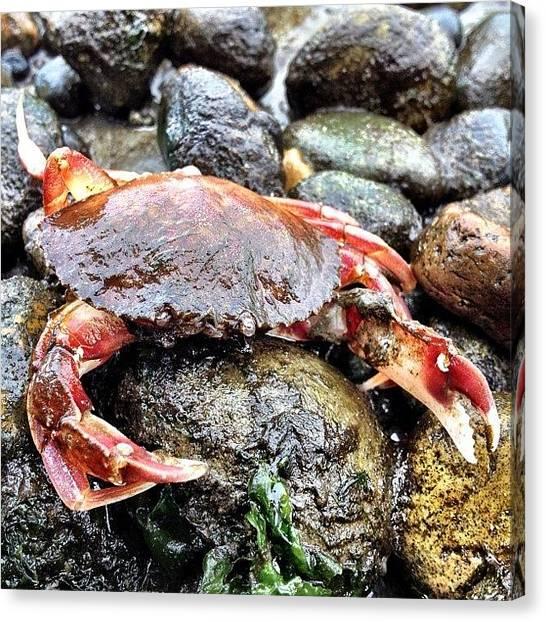 Ocean Animals Canvas Print - Dead Crab Walking #owenbeach #tacoma by Brandon Erickson