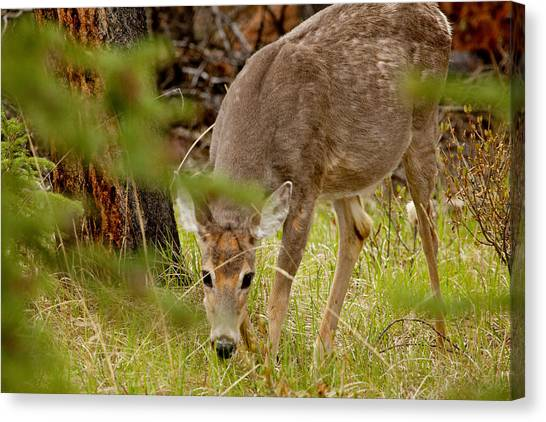 Deer 1661 Canvas Print by Larry Roberson