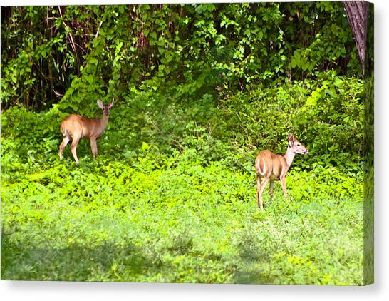 Deer On The North Of St. Croix Canvas Print by David Alexander