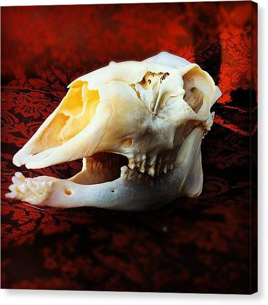 Teeth Canvas Print - Deer Skull by Amy Porter