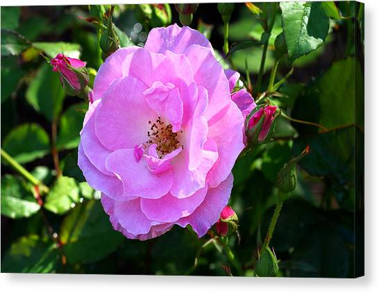 Delicate Pink Wild Rose With Dew Canvas Print