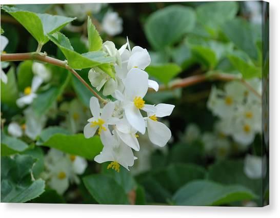 Botanical Gardens Canvas Print - Delicate White Flower by Jennifer Ancker