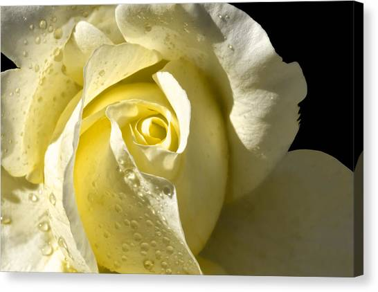 Delightful Yellow Rose With Dew Canvas Print
