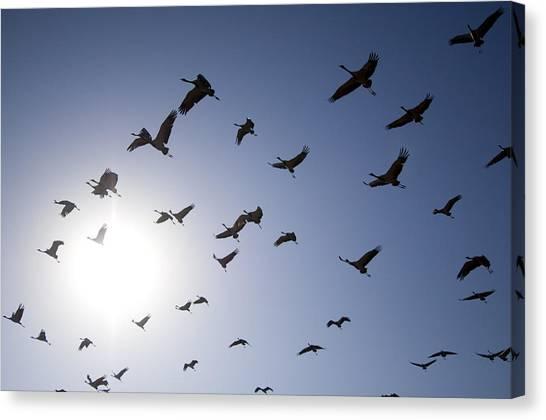 Demoiselles Canvas Print - Demoiselle Cranes (anthropoides Virgo) Group Of Birds Flying, In Khichan, Rajasthan, India by Berndt Fischer