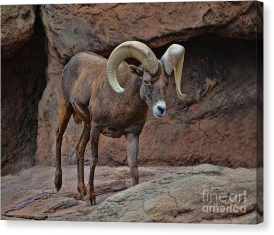 Desert Bighorn Sheep Ram I Canvas Print