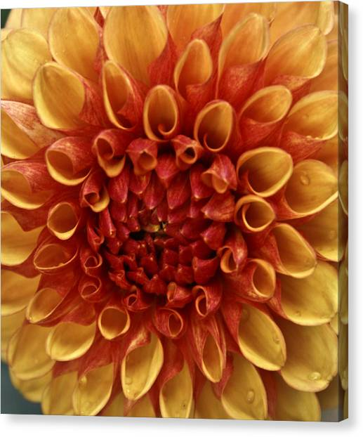 Dew Kissed Chrysanthemum Canvas Print by John Black