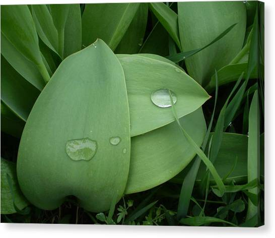Dewy Leaves Canvas Print by Tracy Fallstrom