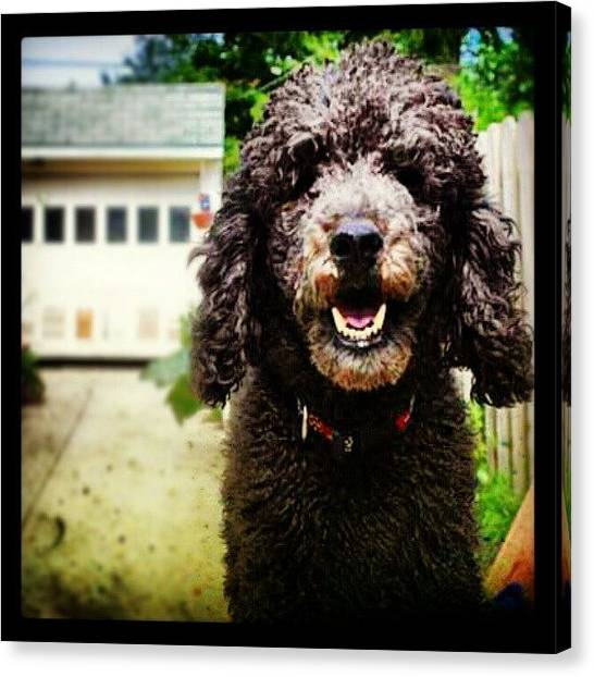 Poodles Canvas Print - Dexter Needs A #haircut #black #poodle by Natalia D