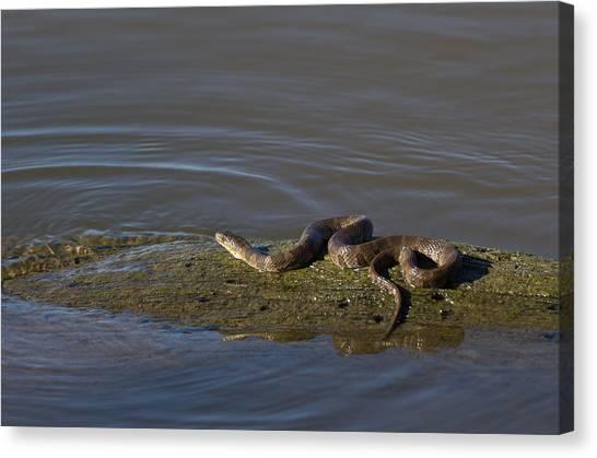 Diamondback Water Snake - 4011 Canvas Print