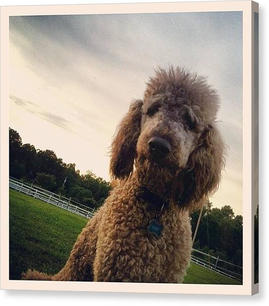 Poodles Canvas Print - Dirty Dog by Lori Lynn Gager